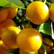 Capri-Sonne – Börsengang ja oder nein